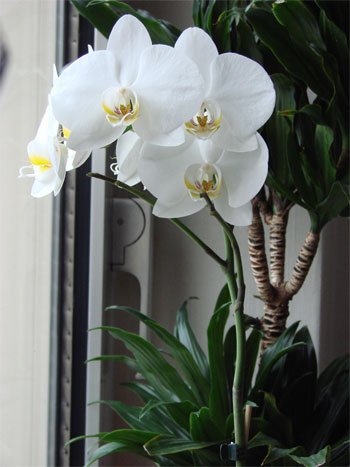 weisse Orchidee im Winter