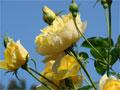 rosen blumen gartenrosen pflege rose foto rosengarten. Black Bedroom Furniture Sets. Home Design Ideas